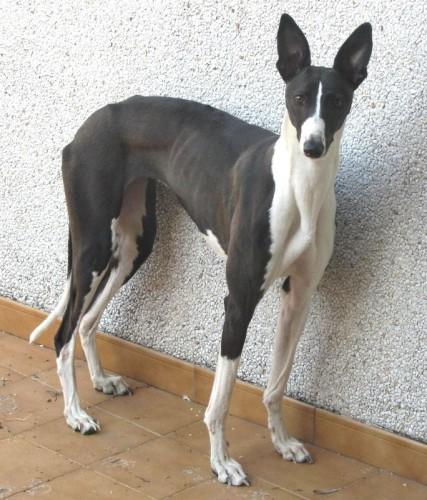 Tania, croisée galga/podenca de 1 an