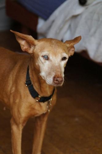 Marisol, podenca de 13 ans, contre bons soins