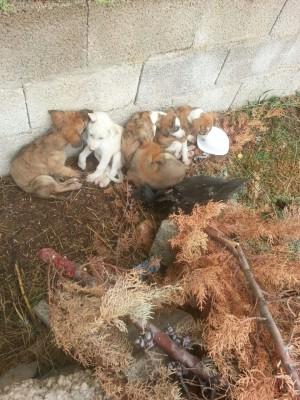 5 chiots galgos trouvés devant la porte du refuge