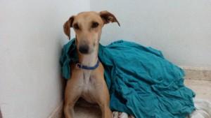 Rubia, lévrier galga de 3 ans et demi