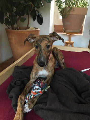 Lily, lévrier galga de 11 mois